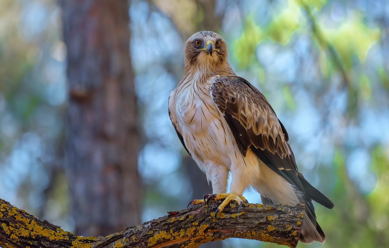 Photo wallpaper birds, predator, booted eagle