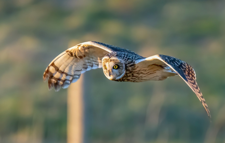 Photo wallpaper background, owl, bird, wings, flight, Short-eared owl