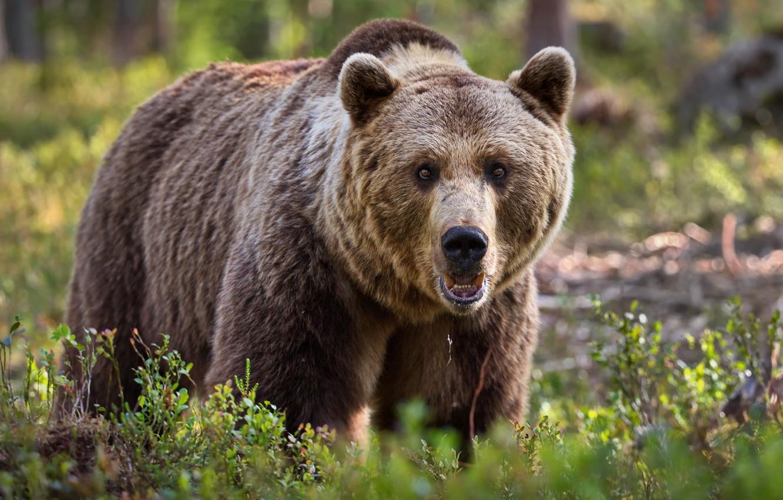 Photo wallpaper summer, nature, animal, predator, bear, brown, Alexander Perov