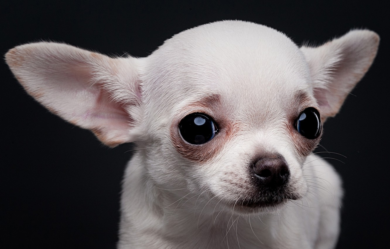 Photo wallpaper white, look, portrait, dog, muzzle, ears, doggie, the dark background, Chihuahua, dog, Евгений Дёгтев