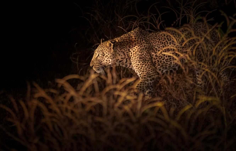 Photo wallpaper vegetation, leopard, leopard, vegetation, Richard Liu