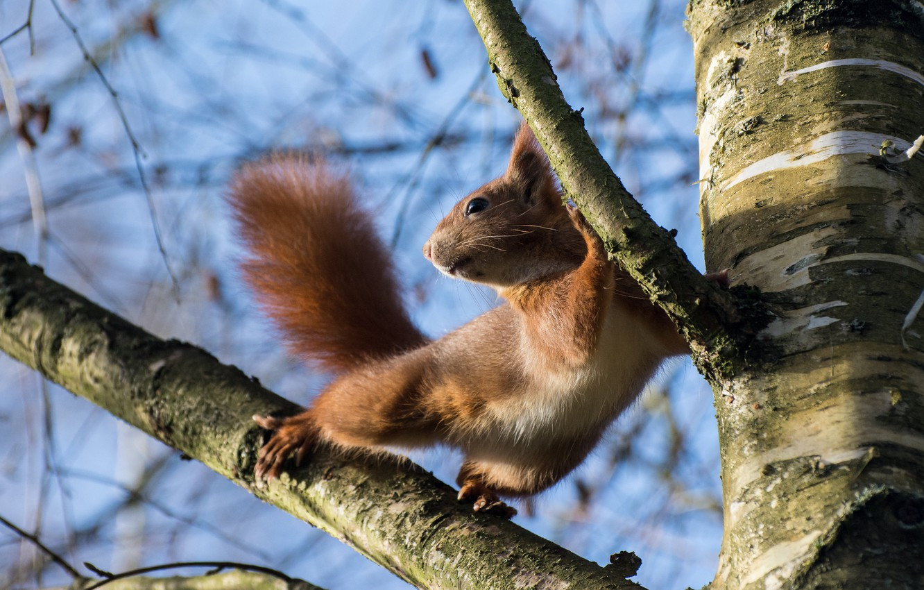 Photo wallpaper branches, nature, pose, tree, animal, protein, animal, rodent