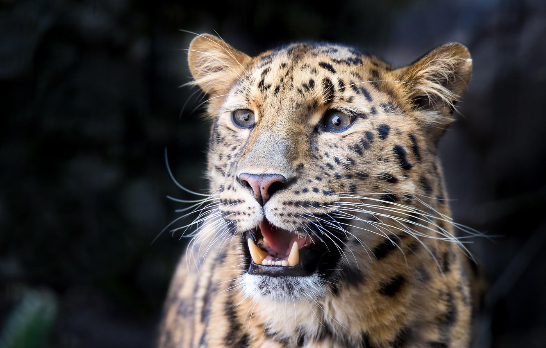 Photo wallpaper face, background, predator, leopard, wild cat