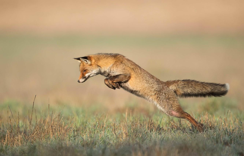 Photo wallpaper nature, pose, jump, Fox, jump, Fox