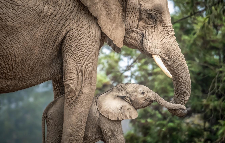 Photo wallpaper love, baby, mom, the elephant, elephant