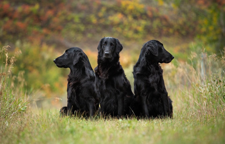 Photo wallpaper autumn, dogs, grass, look, nature, pose, glade, three, trio, friends, green background, black, bokeh, sitting, …