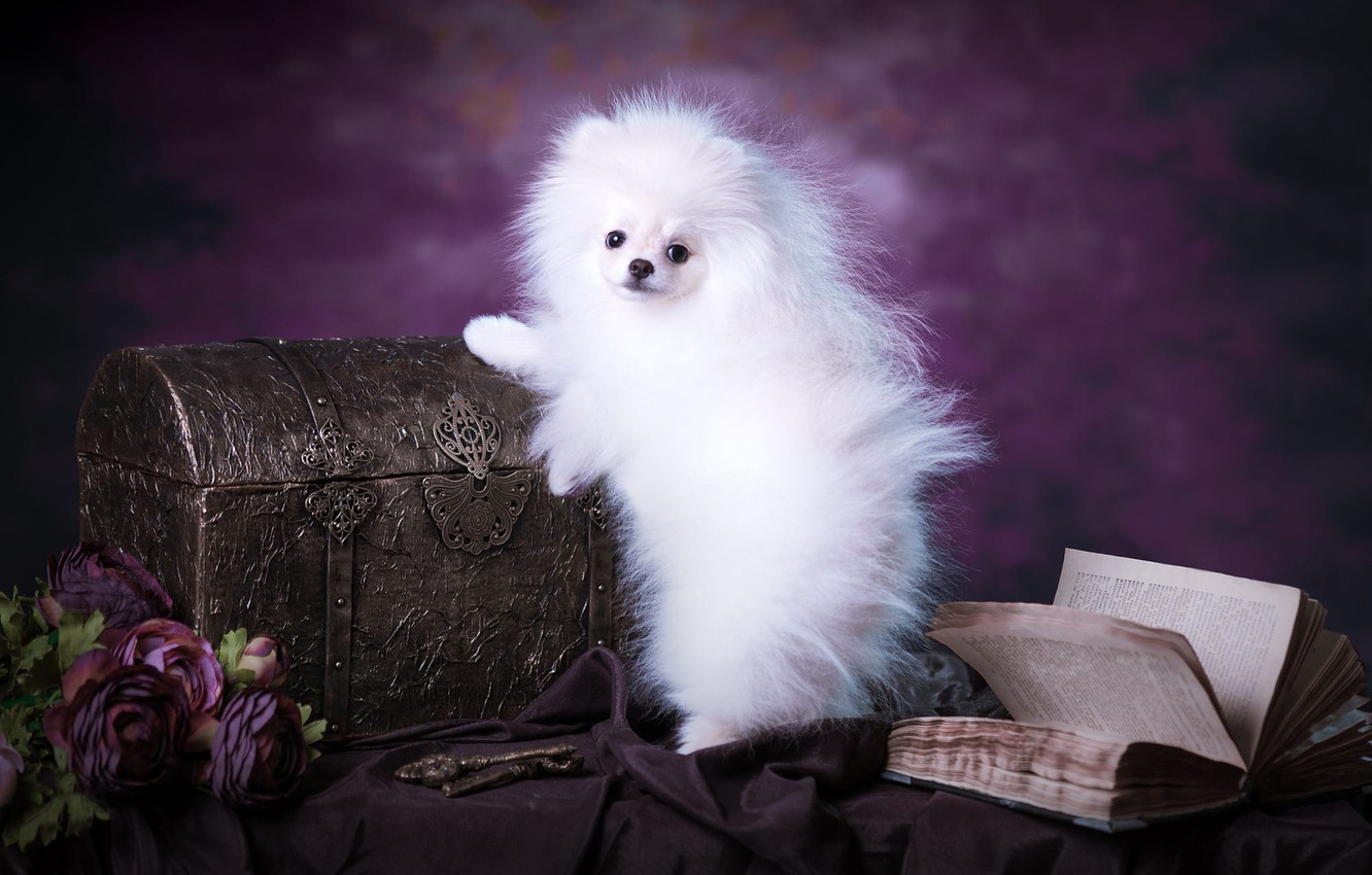 Photo wallpaper white, purple, look, flowers, pose, background, dog, bouquet, fluffy, muzzle, puppy, fabric, book, chest, is, …