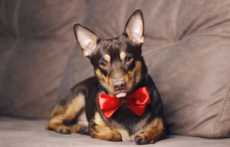 Photo wallpaper language, background, each, dog, bow