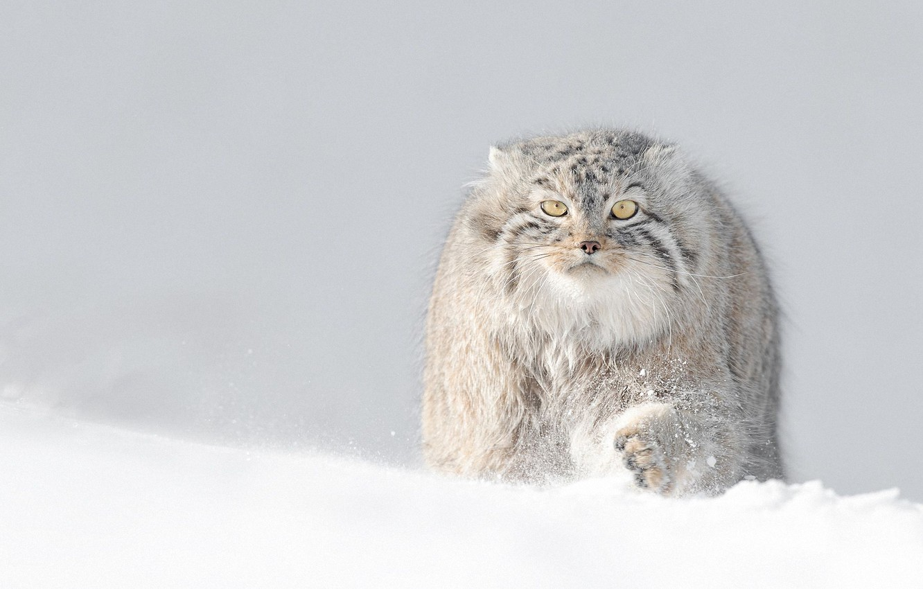 Photo wallpaper winter, snow, manul, manul, fluffy