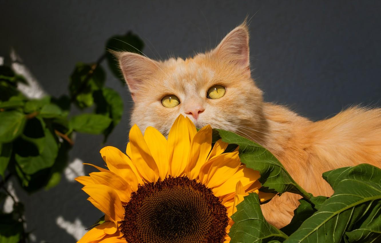 Photo wallpaper cat, sunflower, cat, red cost