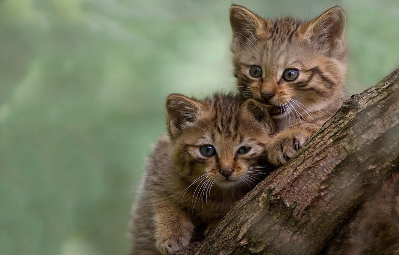 Photo wallpaper pussies, bites, blurred background, the trunk of the tree, play, two kittens