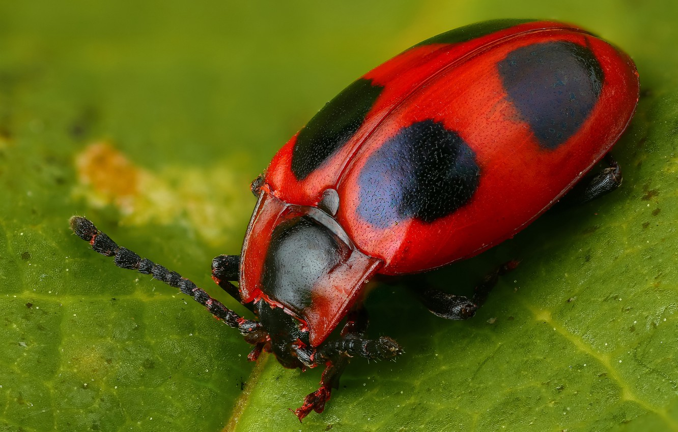 Photo wallpaper macro, red, green, background, leaf, beetle, insect, spotted