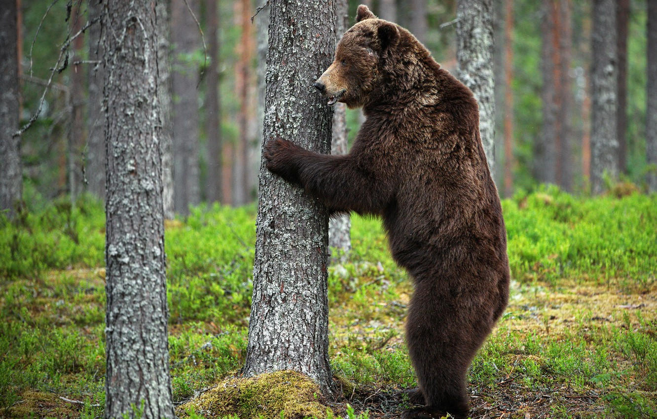 Photo wallpaper forest, nature, pose, tree, bear, bear, trunk, profile, stand, brown