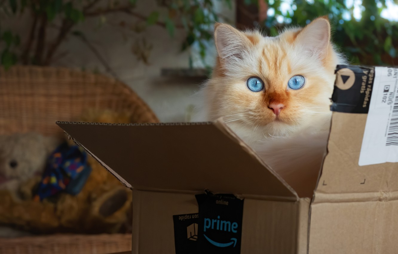 Photo wallpaper cat, cat, look, room, box, the game, blue eyes, Peeps, peach, color-point