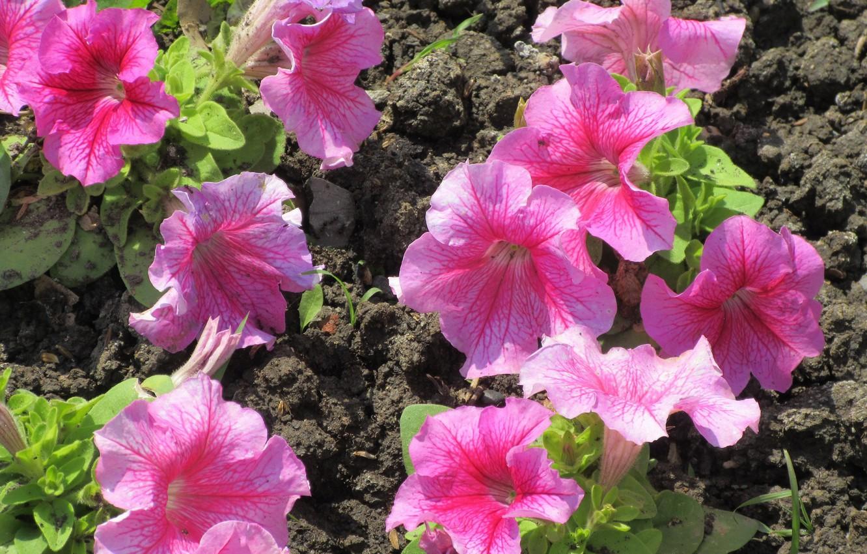 Photo wallpaper Flowers, Pink, Petunia, Meduzanol ©, Summer 2018