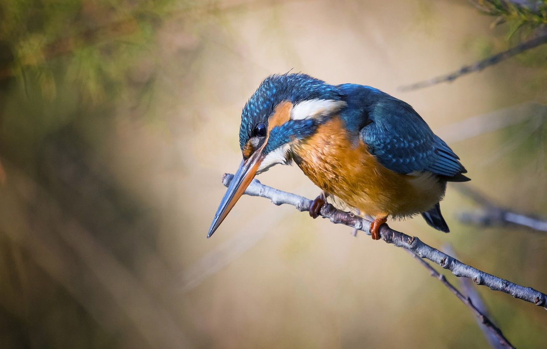 Photo wallpaper nature, sprig, background, bird, Kingfisher