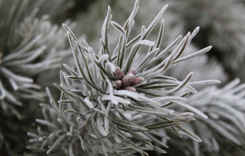 Photo wallpaper winter, needles, nature, blue, pine