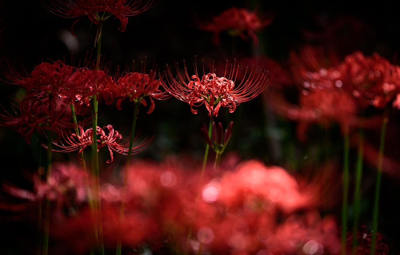 Photo wallpaper light, flowers, the dark background, stems, petals, red,