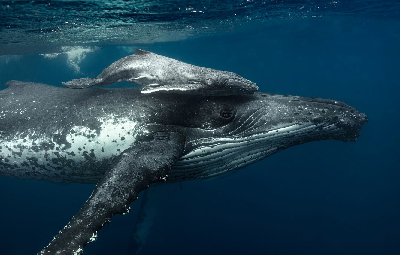 Wallpaper sea, the ocean, family, the baby whale, humpback whale images for  desktop, section животные - download