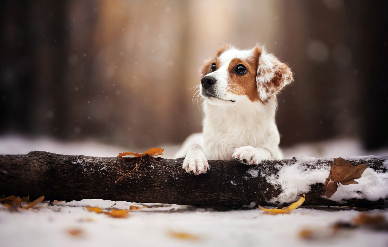 Photo wallpaper winter, leaves, snow, nature, animal, dog, log, dog
