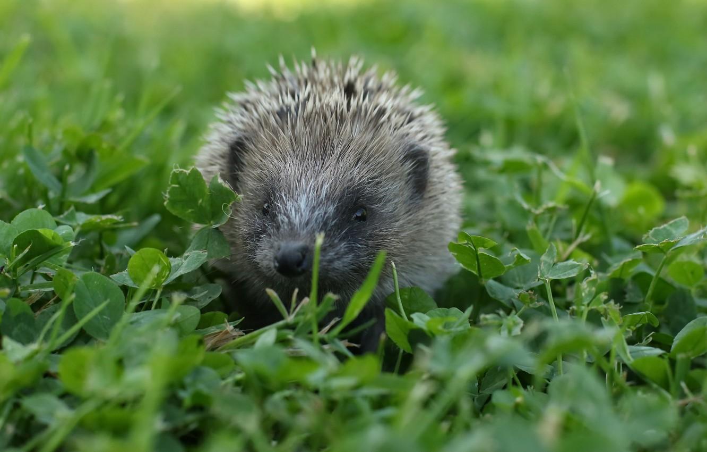 Photo wallpaper summer, nature, hedgehog