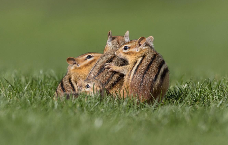 Photo wallpaper grass, pose, together, glade, Chipmunk, company, Quartet, four, chipmunks, four, skuchkovalis