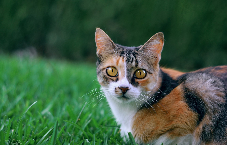 Photo wallpaper cat, grass, look, muzzle, cat