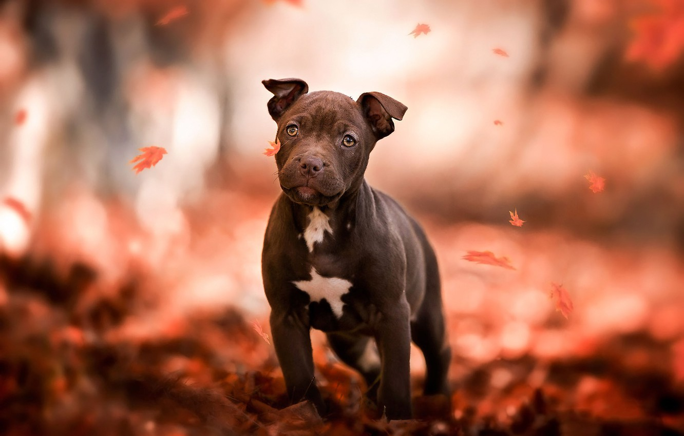 Photo wallpaper autumn, look, leaves, orange, red, nature, pose, Park, background, mood, foliage, dog, paws, baby, puppy, …