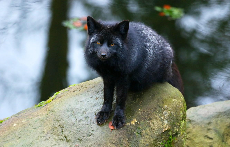 Wallpaper Look Face Stones Paws Fox Black Pond Fox
