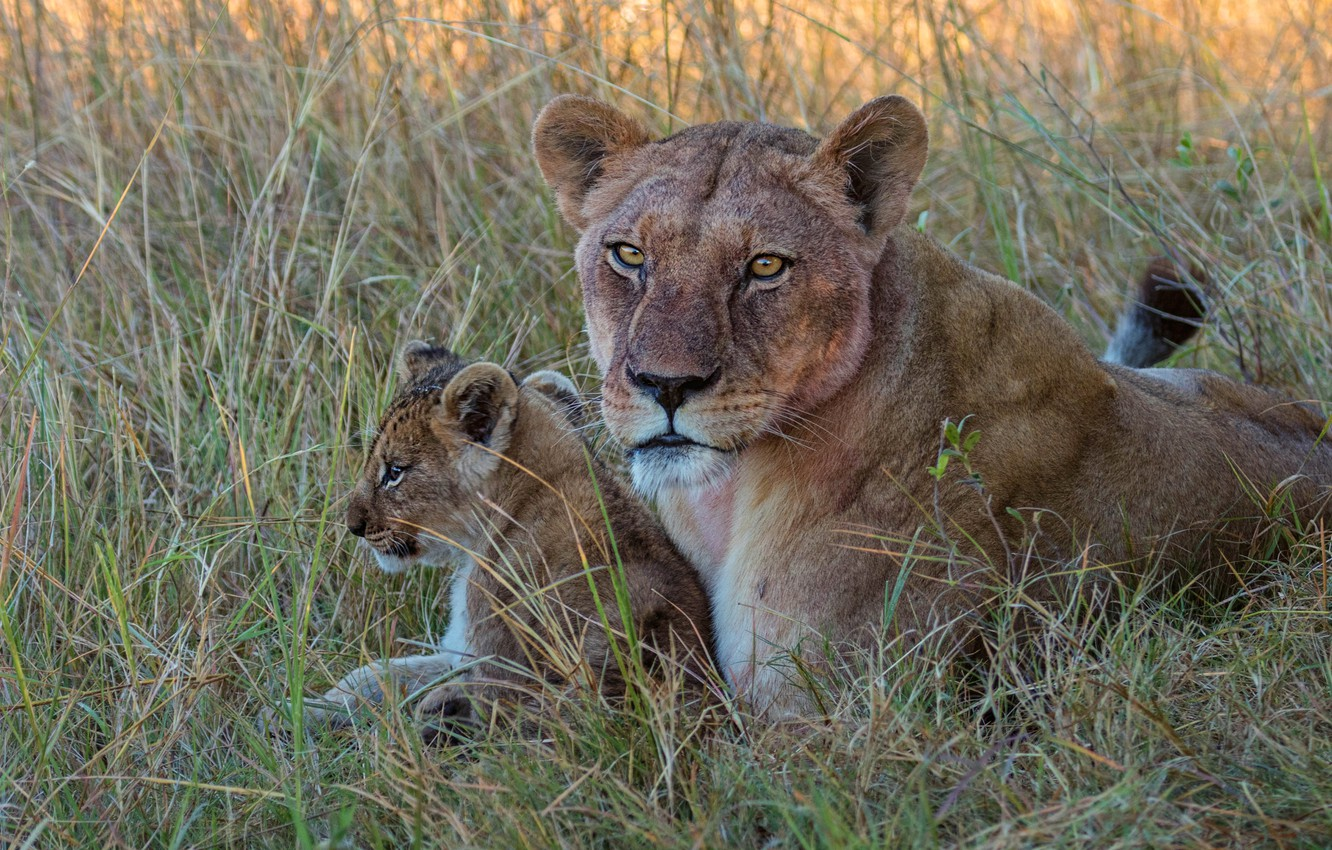 Photo wallpaper grass, look, face, glade, baby, lions, lioness, cub, mom, lion, lion