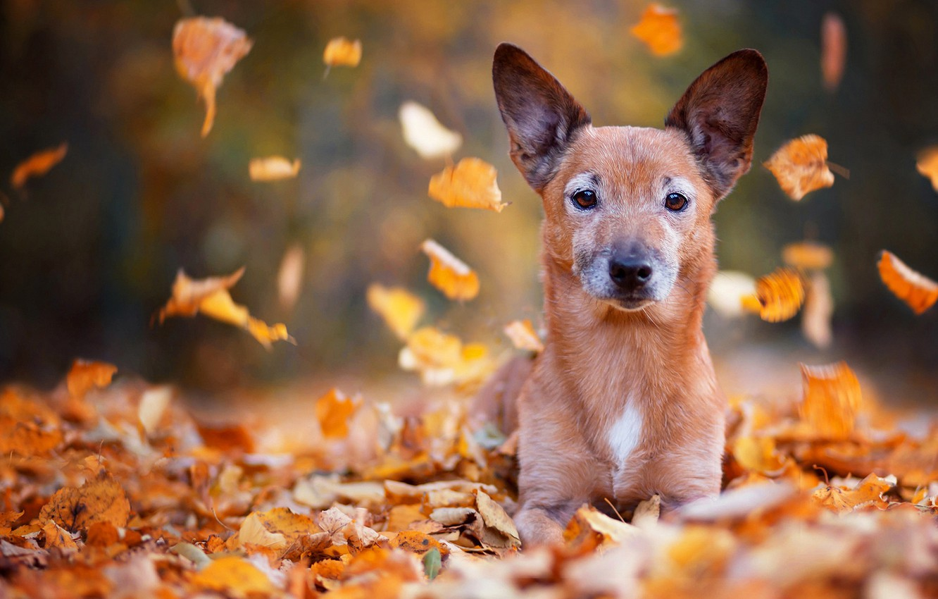 Photo wallpaper sadness, autumn, eyes, look, leaves, Park, background, foliage, portrait, dog, blur, red, puppy, lies, ears, …