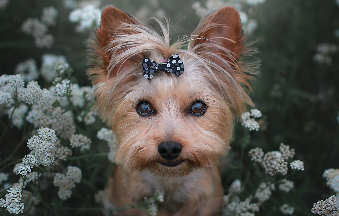 Photo wallpaper look, flowers, face, dog, bow, Yorkshire Terrier, York