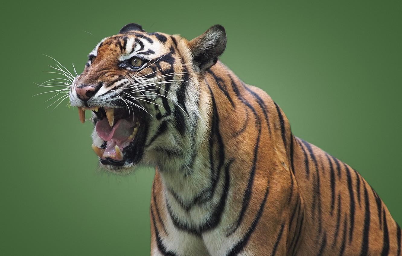 Photo wallpaper tiger, predator, mouth, grin, wild cat, green background