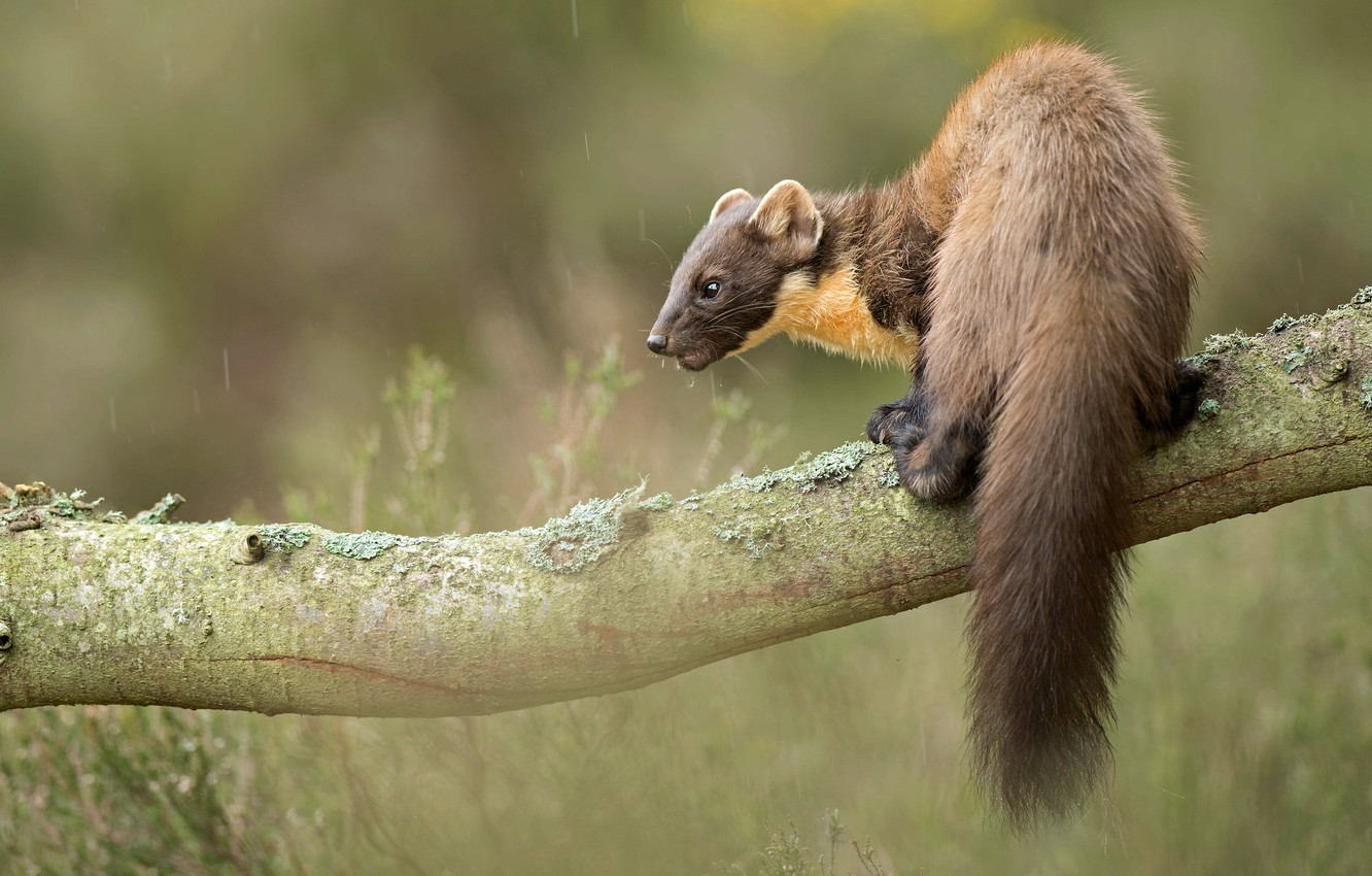 Photo wallpaper look, nature, pose, background, tree, back, branch, muzzle, tail, bokeh, blurred, cute, marten