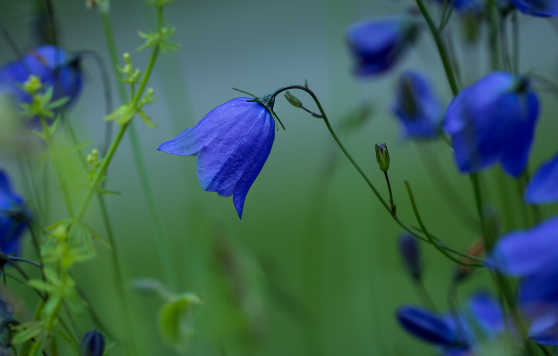 Photo wallpaper summer, flowers, nature, bell, buds, stems, green haze, meadow grass