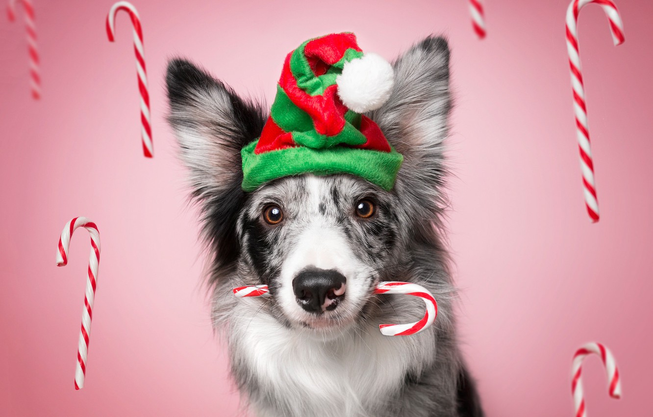 Photo wallpaper look, face, strips, holiday, new year, portrait, Christmas, dog, sticks, candy, sweets, pink background, cap, ...