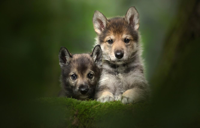 Photo wallpaper look, puppies, kids, a couple, Duo, bokeh, faces, The tamaskan dog