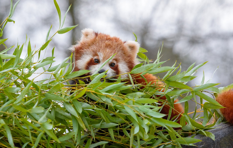 Photo wallpaper leaves, plant, red Panda