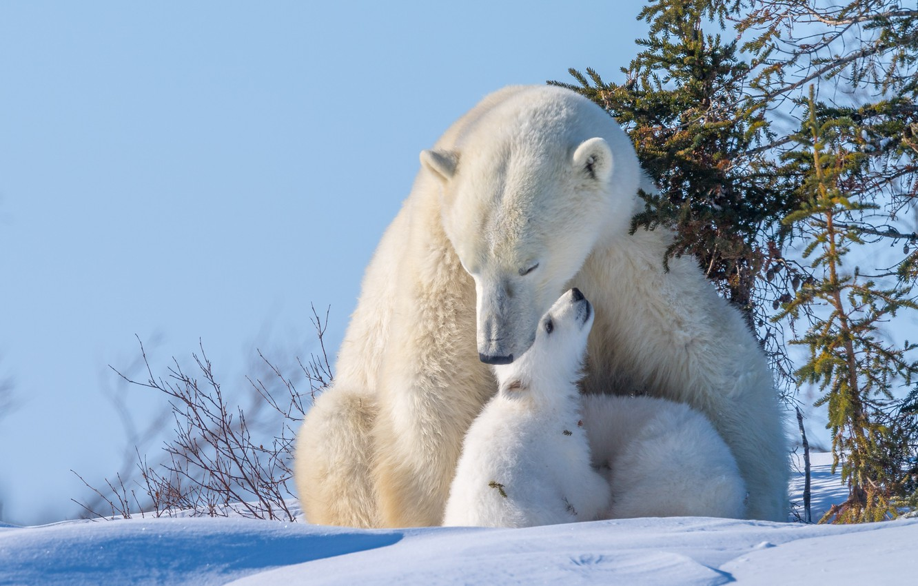 Photo wallpaper winter, animals, snow, nature, predators, bears, bears, tree, bear, cubs