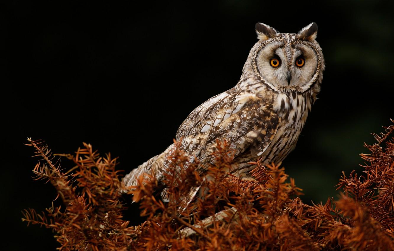 Photo wallpaper look, the dark background, owl, bird, needles, owl