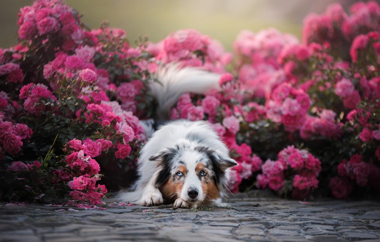 Photo wallpaper flowers, roses, dog, Australian shepherd, Aussie, rose bushes
