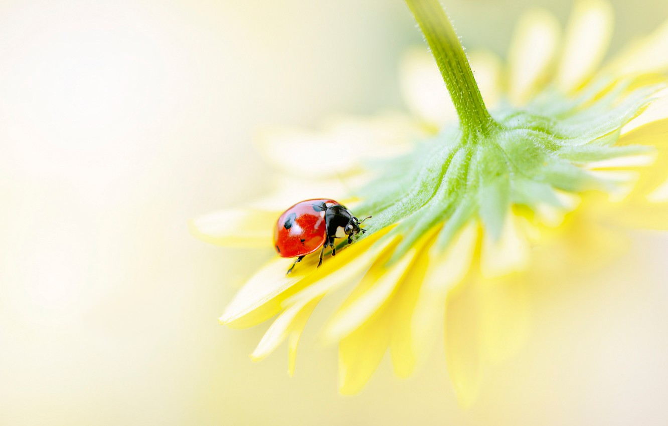 Photo wallpaper flower, macro, yellow, red, background, ladybug, beetle, blur, petals, insect, sitting, bug, on the flower