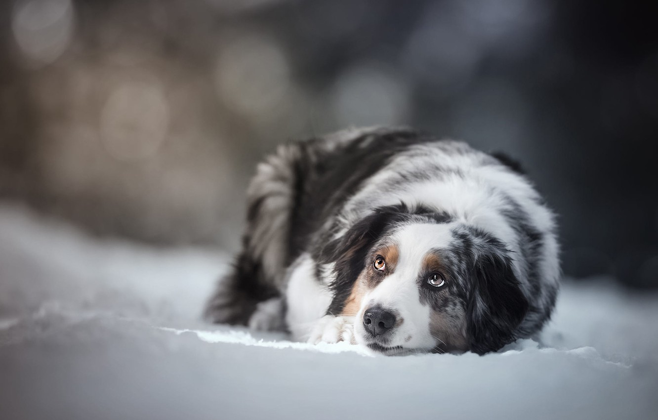 Photo wallpaper winter, look, face, snow, pose, background, dog, lies, bokeh, spotted, Aussie