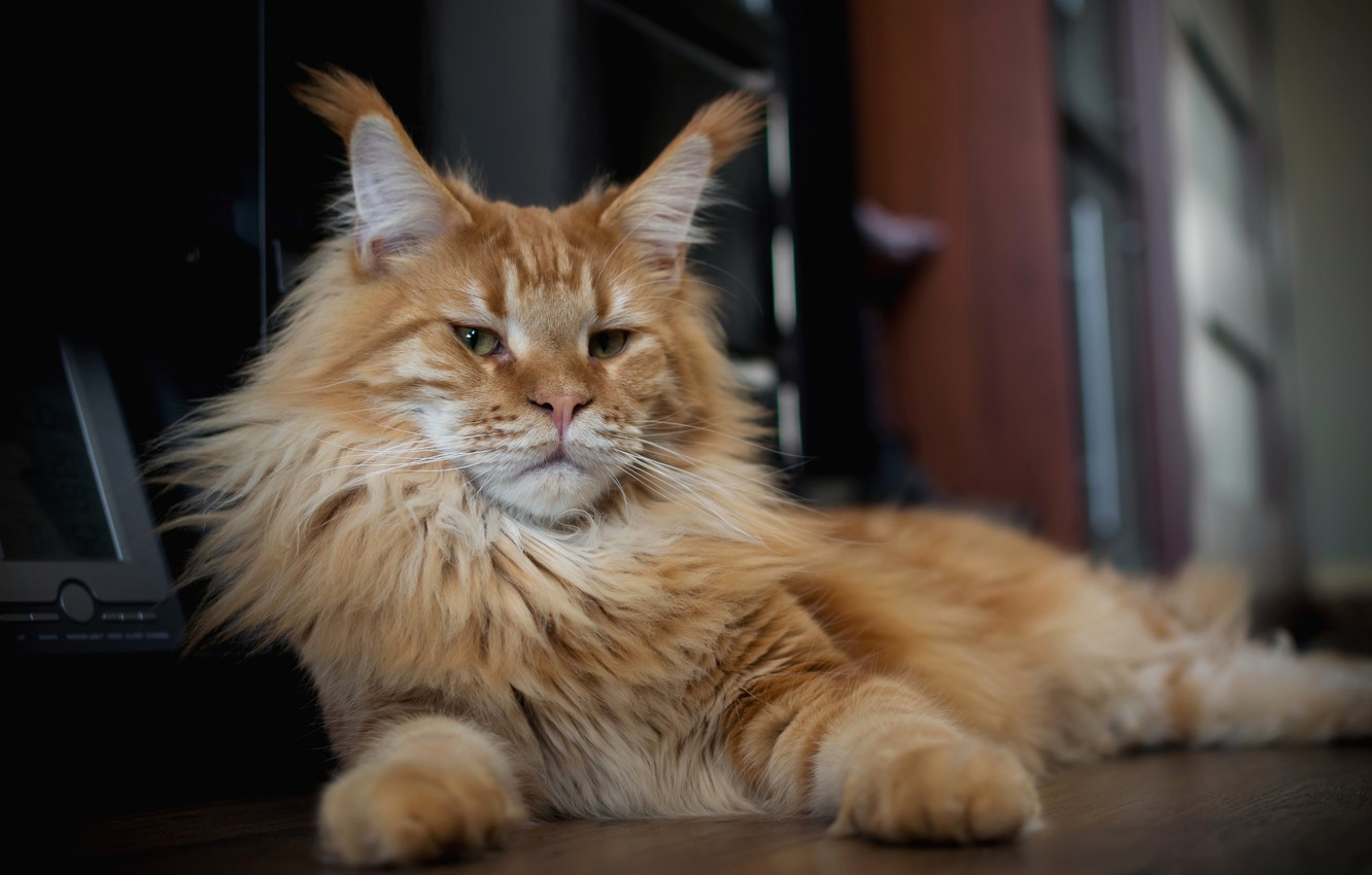 Photo wallpaper cat, look, red, face, Kote, Maine Coon
