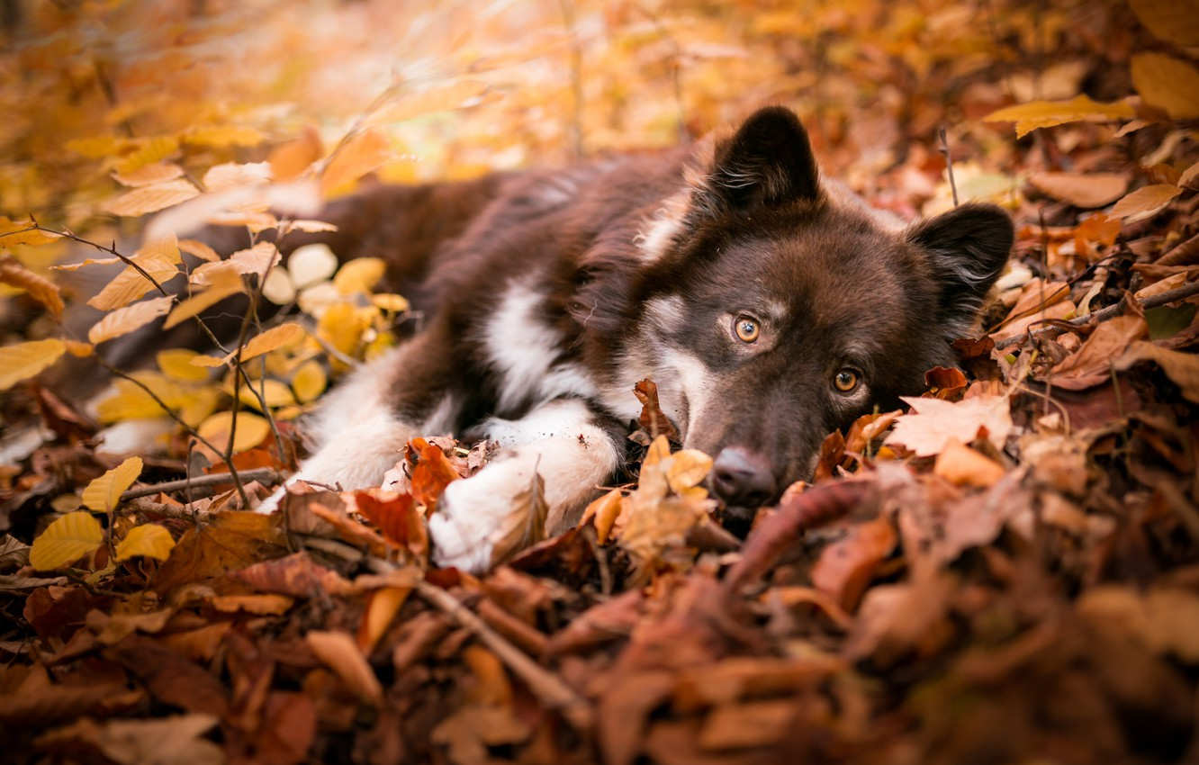 Photo wallpaper autumn, look, leaves, branches, nature, pose, dog, baby, puppy, lies, brown, Golden autumn
