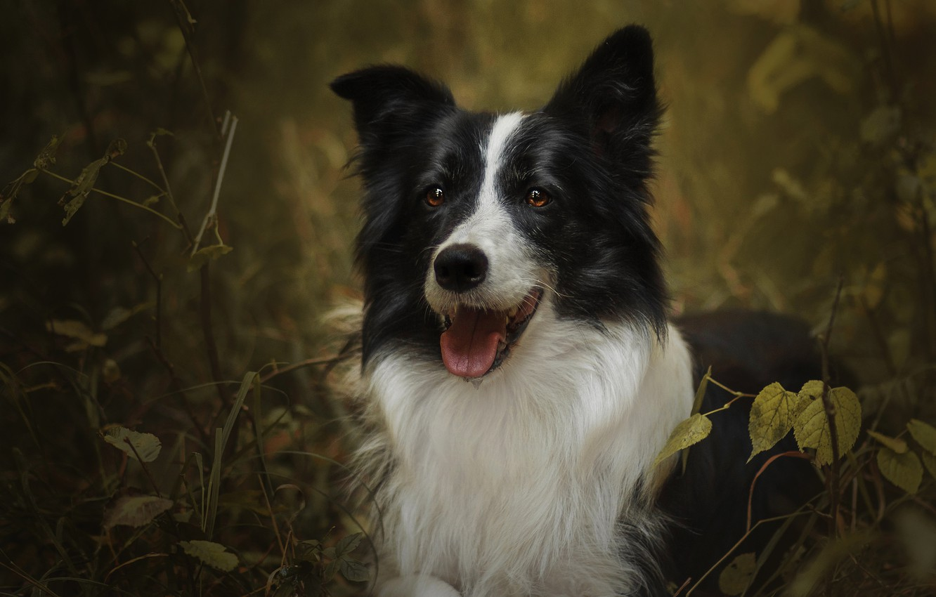 Photo wallpaper autumn, language, look, face, leaves, branches, nature, thickets, portrait, dog, the border collie