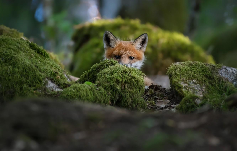 Photo wallpaper fox, Fox, Christian Lindsten