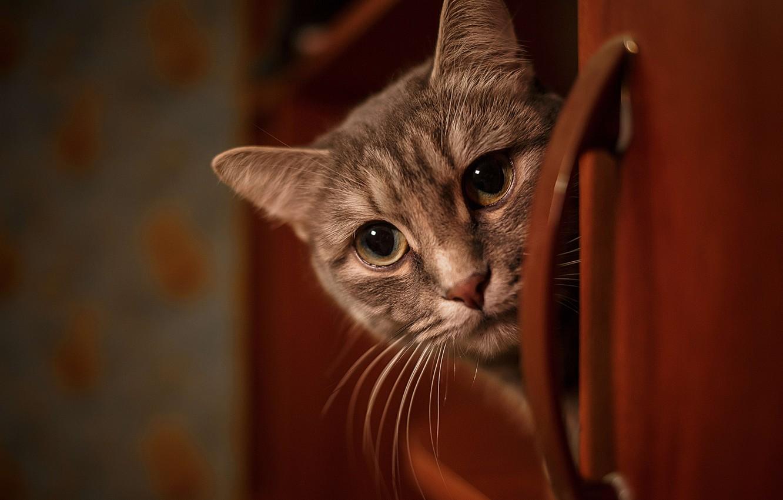 Photo wallpaper cat, look, muzzle, Vladimir Vasiliev
