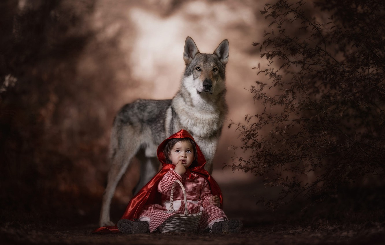 Photo wallpaper forest, look, face, red, pose, the dark background, grey, mood, basket, wolf, child, the situation, …