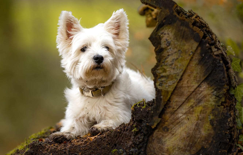 Photo wallpaper dog, snag, doggie, The West highland white Terrier